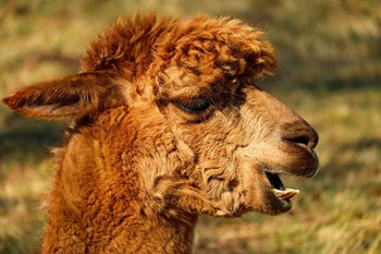 Managing alpaca welfare